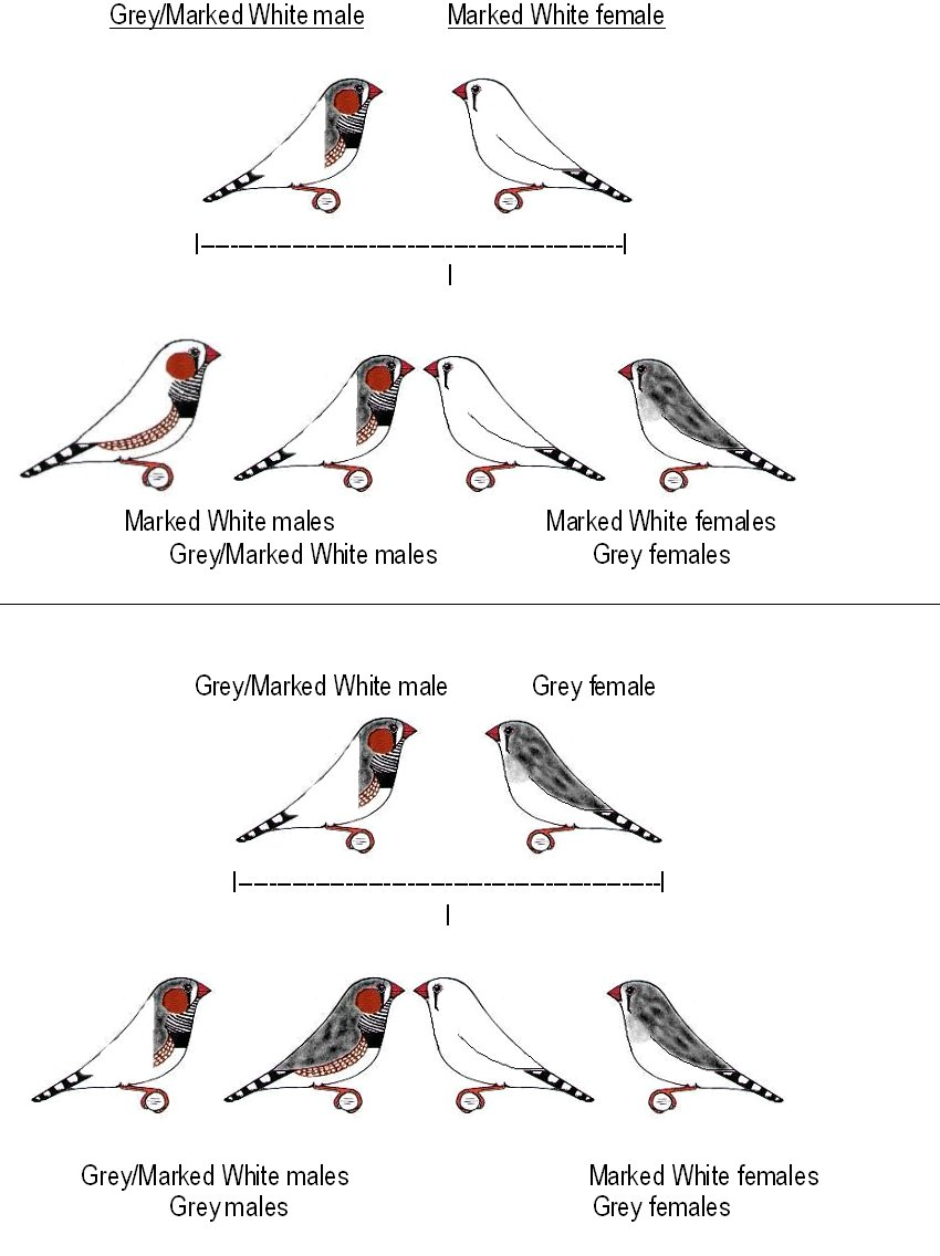 HOW TO CARE FOR AND BREED ZEBRA FINCHES
